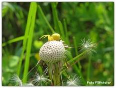 Gele spin 'op het hoofd' van een uitgebloeide paardenbloem