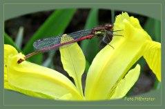 Bloedrode heidelibel op de gele lis ,de eerste libel van dit jaar op de foto.