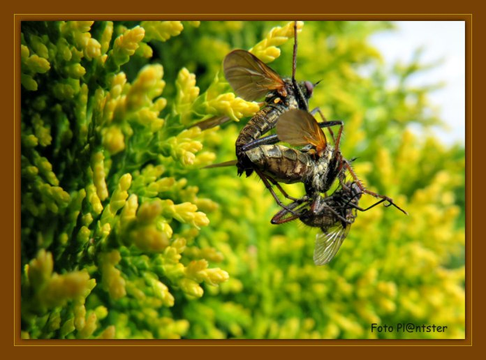 In de paartijd geeft het mannetje een gevangen vlieg aan het vrouwtje waarna paring volgt, terwijl het vrouwtje de prooi leegzuigt.