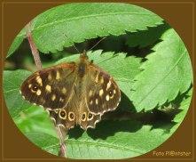 Als nog onbeschadigde vlinder in zonnewarmte op 'n blad te hebben opgemerkt.