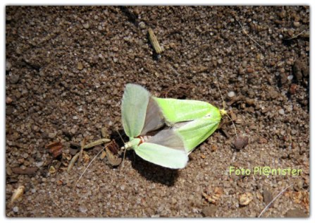Het is iets tussen beiden vlindertjes