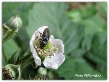 Insect op braambloeier