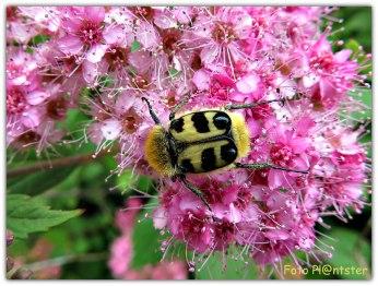 De penseelkever is een kever uit de familie bladsprietkevers. (Wikipedia)