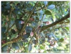 1 Volwassen motten komen uit de pop. 2 Ei leg aan de onderkant van de bladeren. 3 Rupsen vreten de buxus kaal. 4 Dan de rupsen verpoppen.
