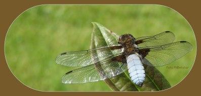 Fotocollage van platbuik libelle, die er zo mooi bij zat en me niet in de gaten had. Mijn dag kon niet meer stuk ,dit behoort tot 'n klein geluk .