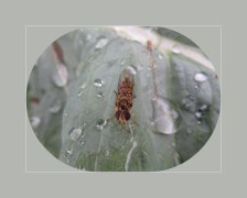 De snorzweefvlieg op blad gezeten met vleugels ineen geslagen, het zonnetje liet het afweten op een van regendagen.