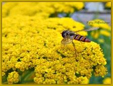 De plant Achillea' variëteiten houden van een zonnige standplaats en een niet te natte grond. Trekt veel vlinders en andere insecten. Geschikt als droogbloem. Oude bloemen verwijderen stimuleert een tweede bloei.