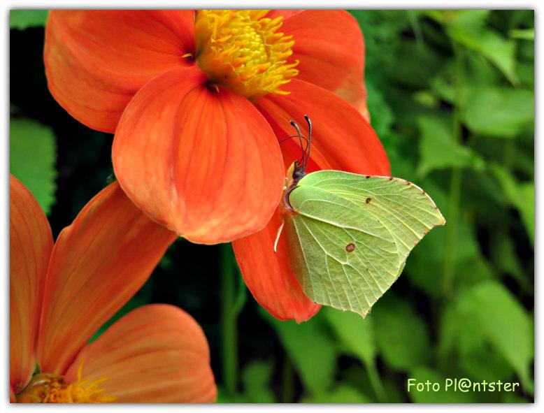 Citroenvlinder  in tuin