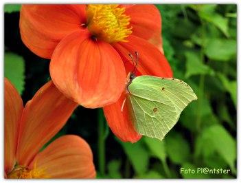 Mannetje citroenvlinder is felgeel van kleur en 'n vrouwtje is groenig wit.