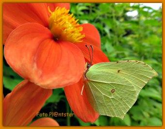 Je kunt de citroenvlinder herkennen aan 'n punt aan de boven- en onder vleugel