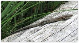 Een slanke en nogal platte hagedis met relatief lange tenen en staart .Nog even deze foto ervan terwijl ik weer op huis aan ging