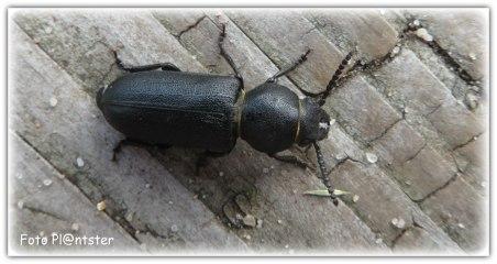 Wortelboktor is een kever uit de familie boktorren.