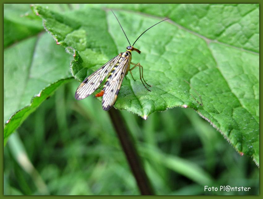 IMG_0349 Duitse Schorpioenvlieg