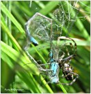 'n Overmeesterend libelle die vecht voor haar leven, dan toch trekt zij aan het kortste eind want de spin heeft haar in zijn macht.
