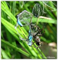 De spin vangt een prooi in het web