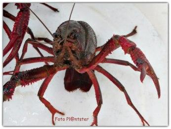 Herkenning van betreffend de rode rivierkreeft: rode, slanke scharen met lichtrode knobbels, de doornen op de binnenkant van de eerste schaarpoten en het rode lichaam.