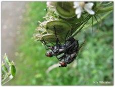 De levensduur van een vlieg is afhankelijk van de soort