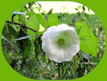 De witte klokjesvormige bloemen zijn verraderlijk mooi, die doen denken aan ouderwetse pispotjes,