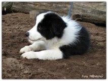 Banjer, 'n border collie als puppy van 11 weekjes 01-08-2021.