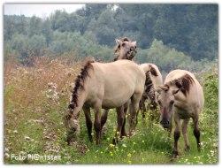 Bijzondere gewaarwording, juist op een smalle struin pad, waar ook 'n groepje Konik paarden te voorschijn kwamen