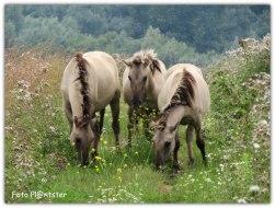 Al grazend in 'n prachtige ruige natuur liepen Konik paarden in de rust met hun gemoedsrust
