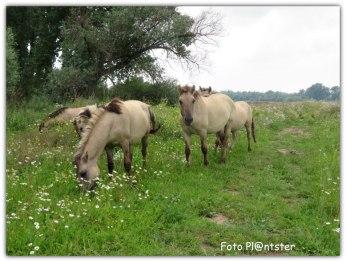 Het Konik paard komt oorspronkelijk uit Polen. Konikpaarden worden gebruikt als wilde grazers in natuurgebieden. Aangezien de paarden in groep leven, houden ze in grote gebieden zonder problemen de vegetatie kort.