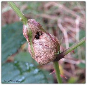 Een gal in de stengel van een braamstruik door 'n klein onopvallend zwart wespje, genaamd de bramentakgalwesp.