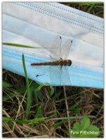 Een libelle op een weggegooide mondkapje in de berm.