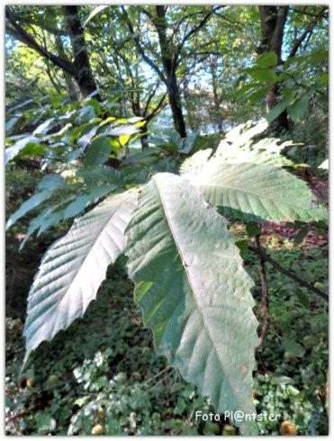 De tamme kastanjes zijn goed te herkennen aan 't langwerpige blad dat wat weg heeft van lange vingers
